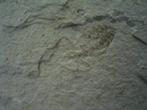Insect slab - Dragonfly larvae miocene age #3