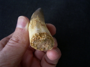 Spinosaur tooth - huge!