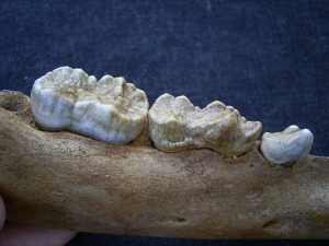Cave bear jaw with interesting bite marks