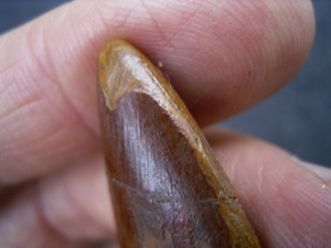 Carcharodontosaur tooth, African T-Rex