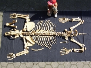 A1 Cave bear Skeleton # 1