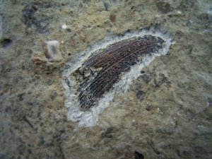 Nemacanthus shark spine, triassic # 2