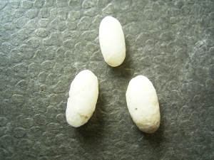 Three lizard eggs, oligocene