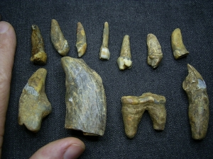 Cave bear teeth eleven pieces