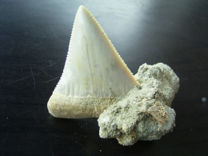 Great white shark tooth from Chile