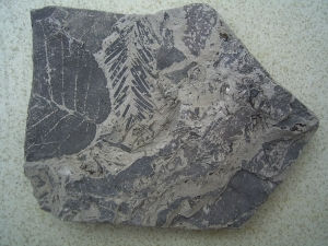Leaves in miocene clay