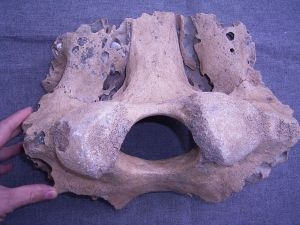 Mammoth skull fragment from Germany